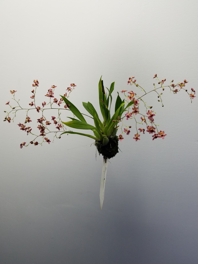Oncidium Twinkle 'Western' (Not In Flower)