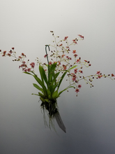 Load image into Gallery viewer, Oncidium Twinkle 'Western' (Flowering)