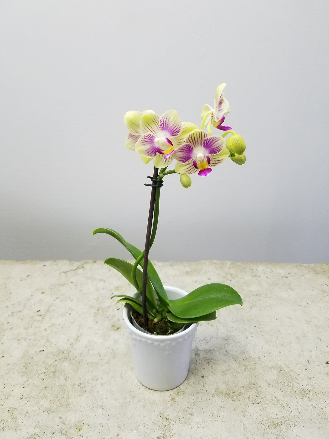 Phalaenopsis Green (micro-mini)
