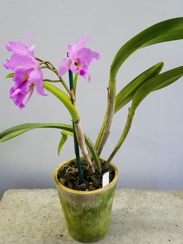 Cattleya Potted (Purple)