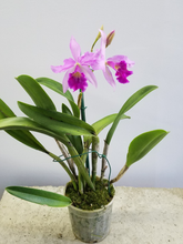Load image into Gallery viewer, Cattleya Potted (Purple)