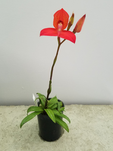 Disa Helmut Meyer 'Oudepost Red'