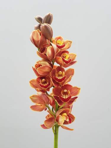 Coratea 'Orange Lip' x Choc nutt