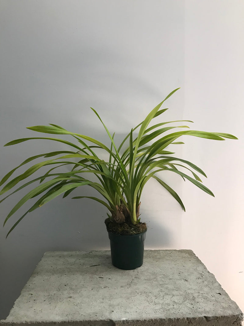 Not Fussy Cymbidium Pot Plant (NOT IN FLOWER)