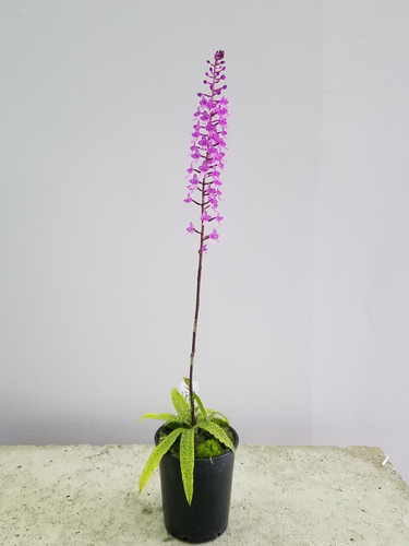 Stenoglottis (Not In Flower)