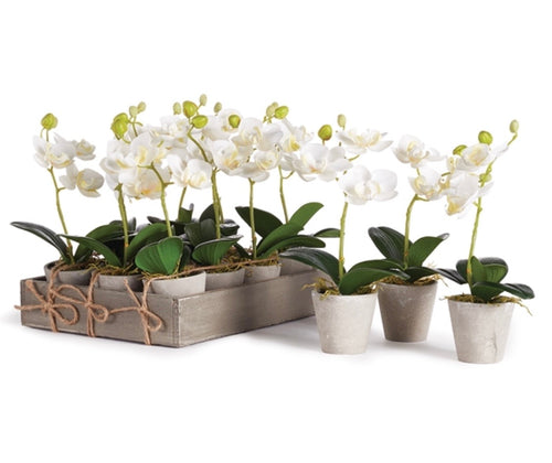 Mini Phalaenopsis Potted 9""