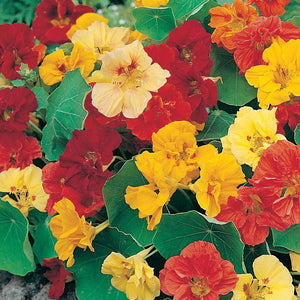 Nasturtium Gleam Double Tall Mix