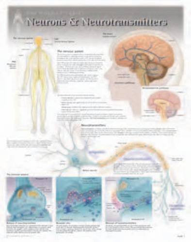 Neurons & Neurotransmitters Wall Chart: 8271 (Physiology)