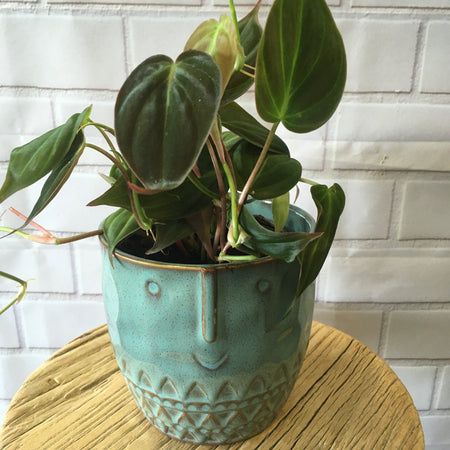 How do I care for my Velvet leaf philodendron?