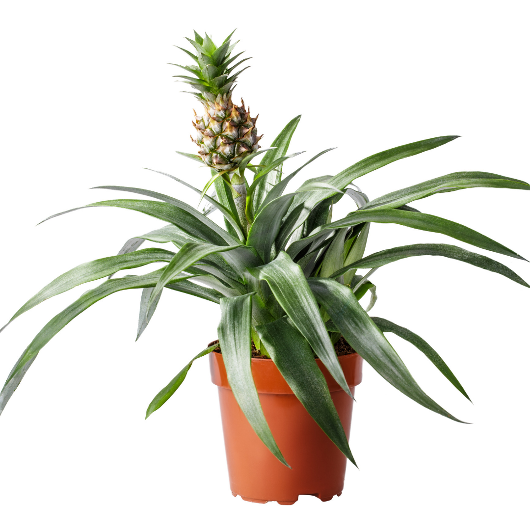 Lazy Flora pineapple plant