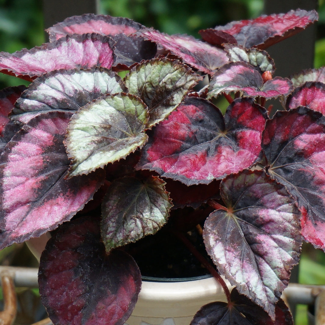 Begonia Rex or Painted Leaf Plant