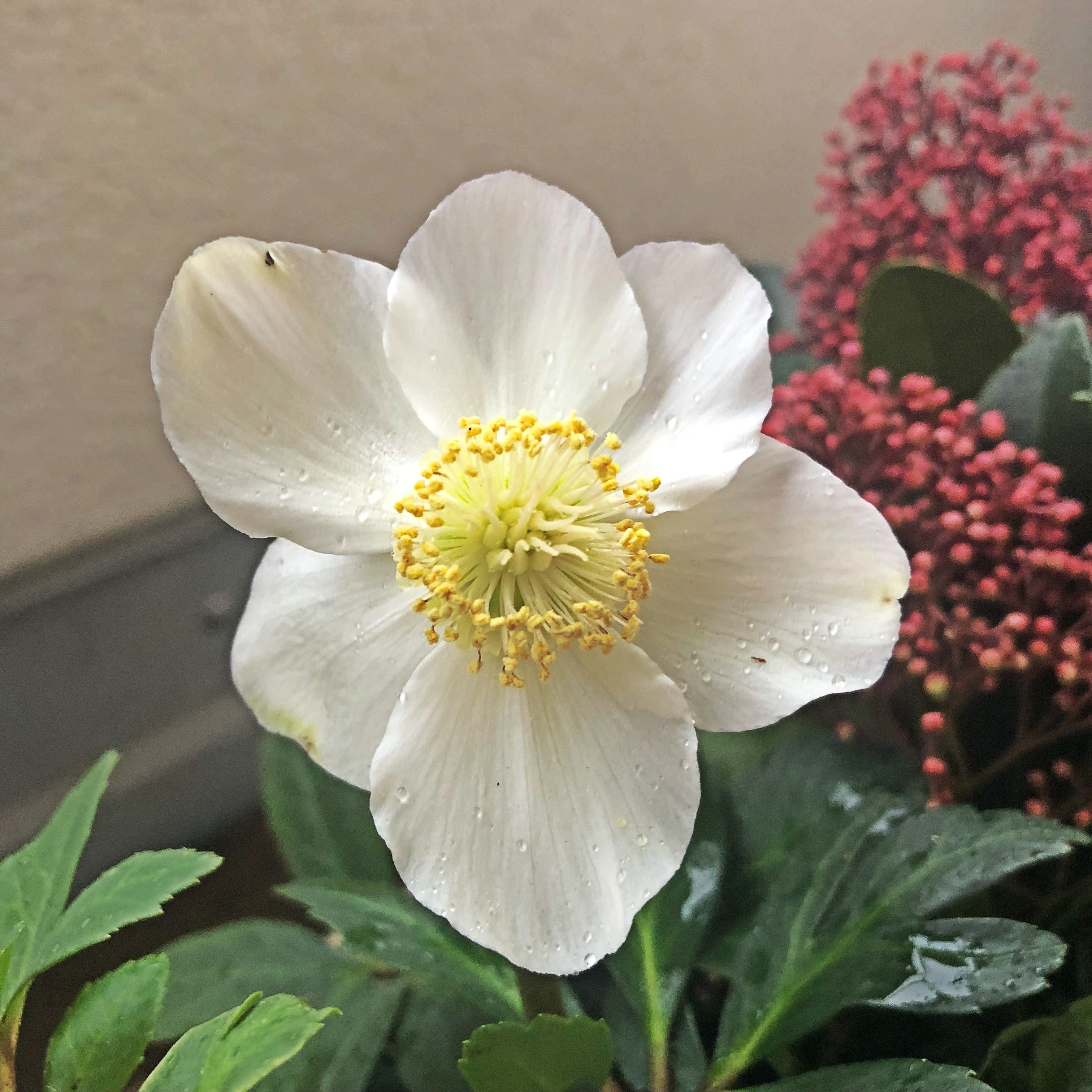 Hellebore from Lazy Flora