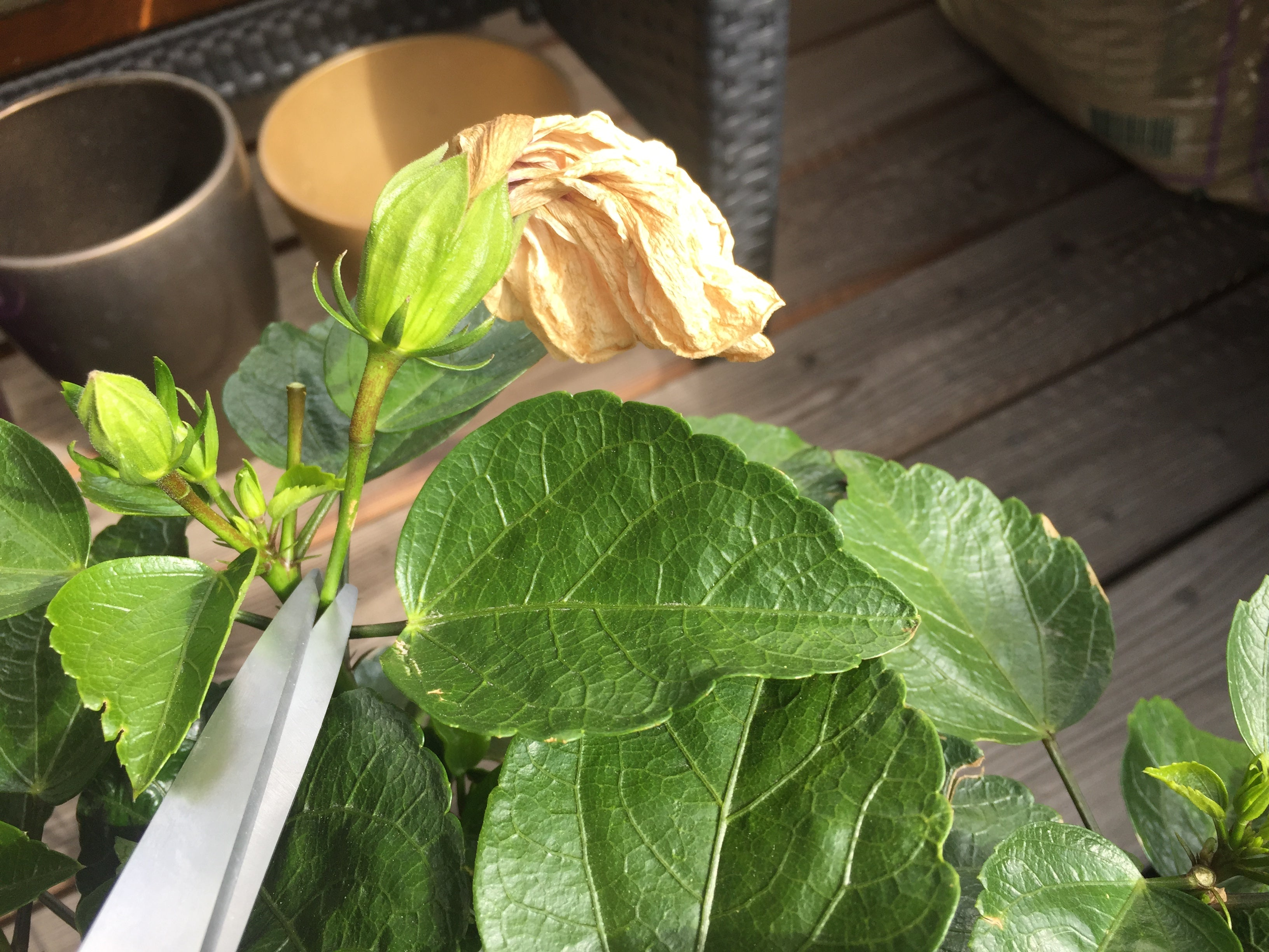 Dead heading a hibiscus