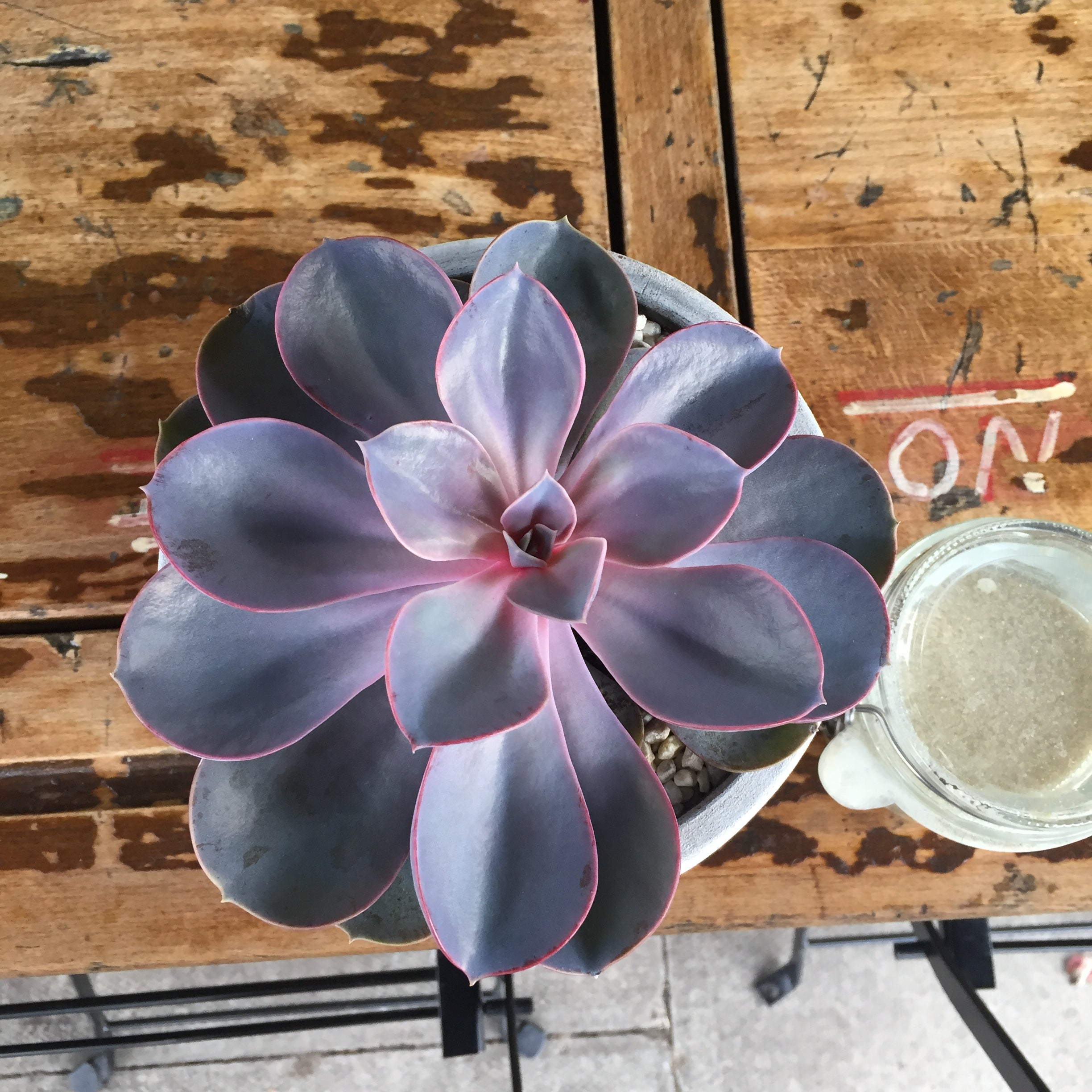 Echeveria Pearle von Neurenburg at The Coffee Traveller in Chiswick
