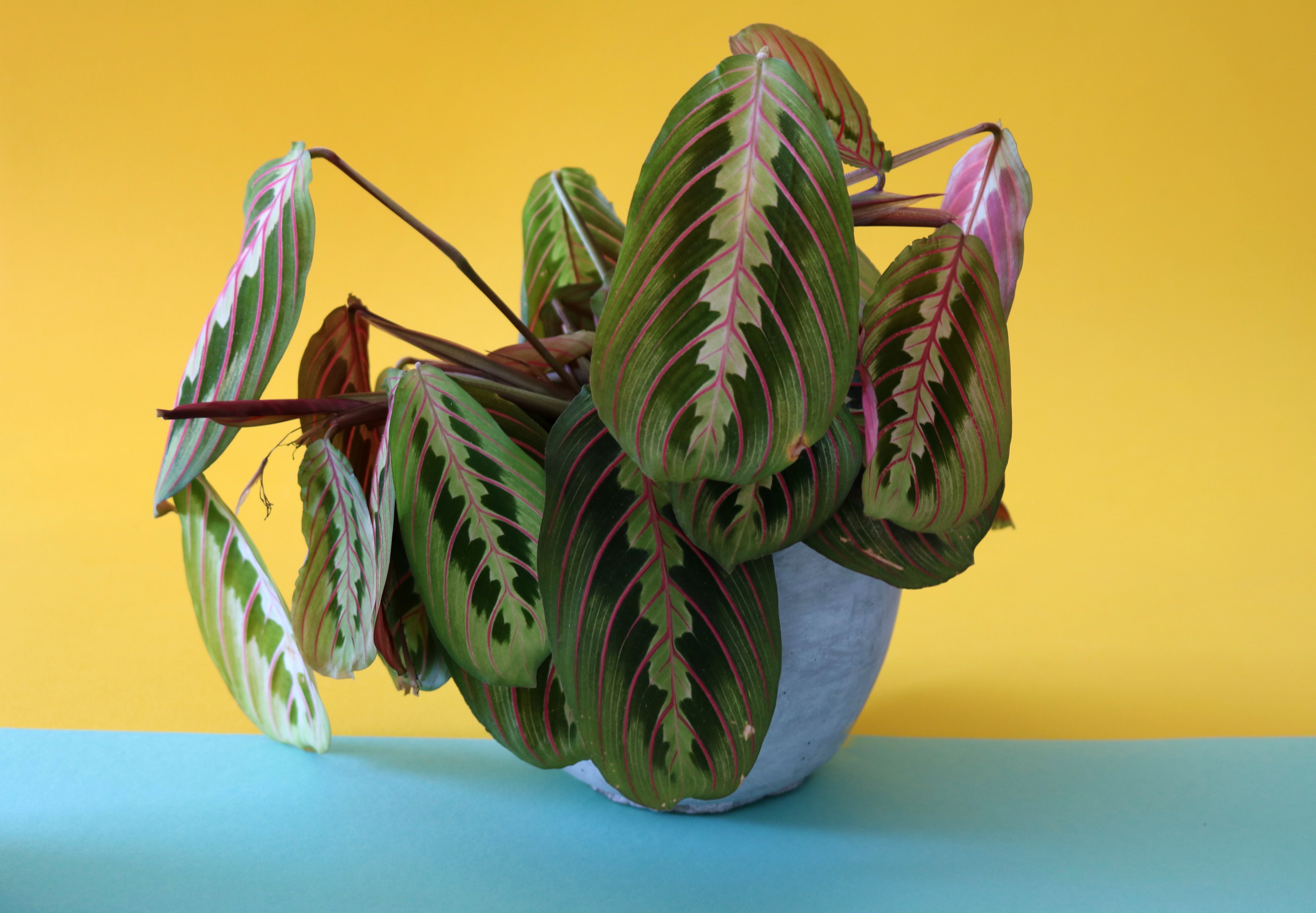 Lazy Flora Prayer Plant or Maranta
