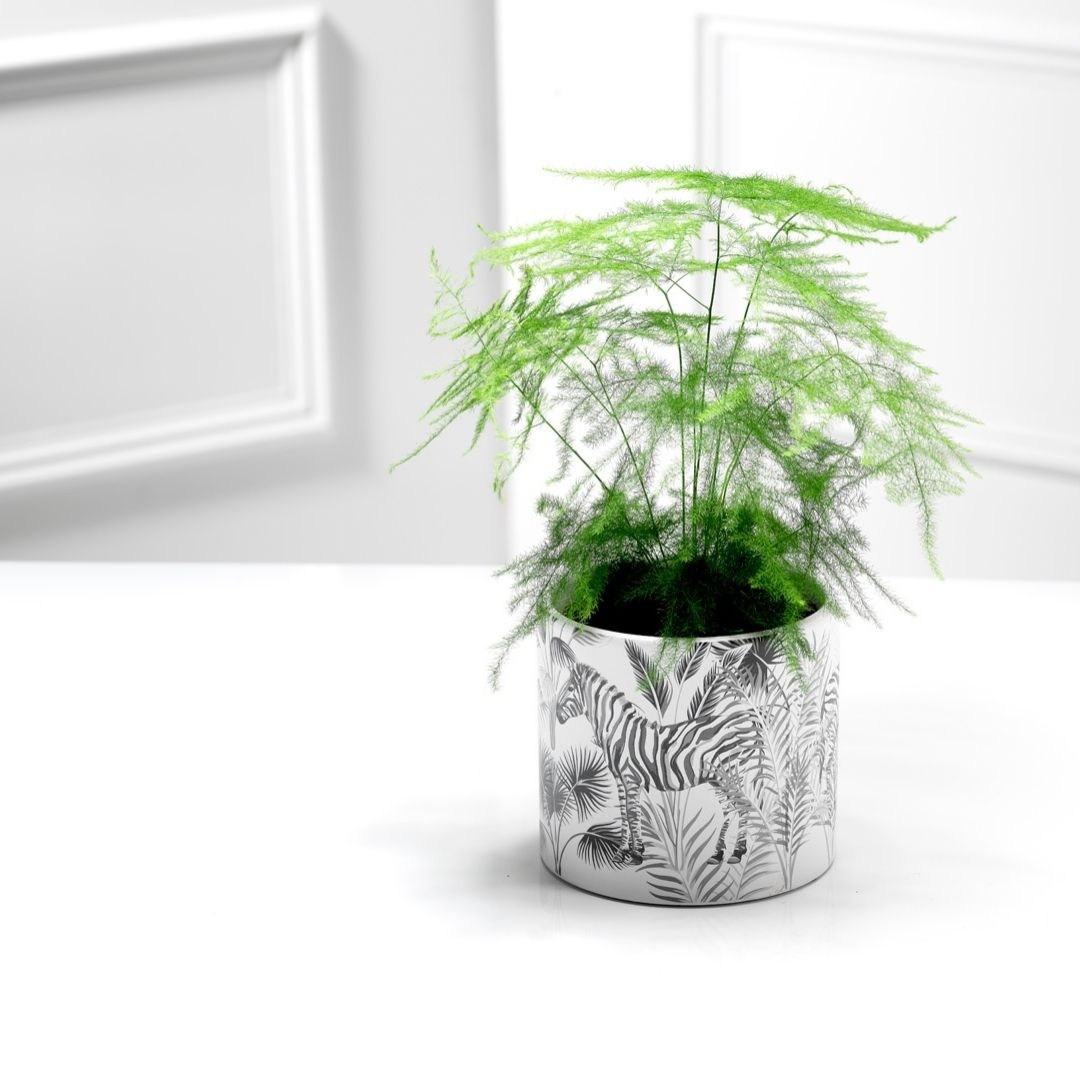 Asparagus fern and planter