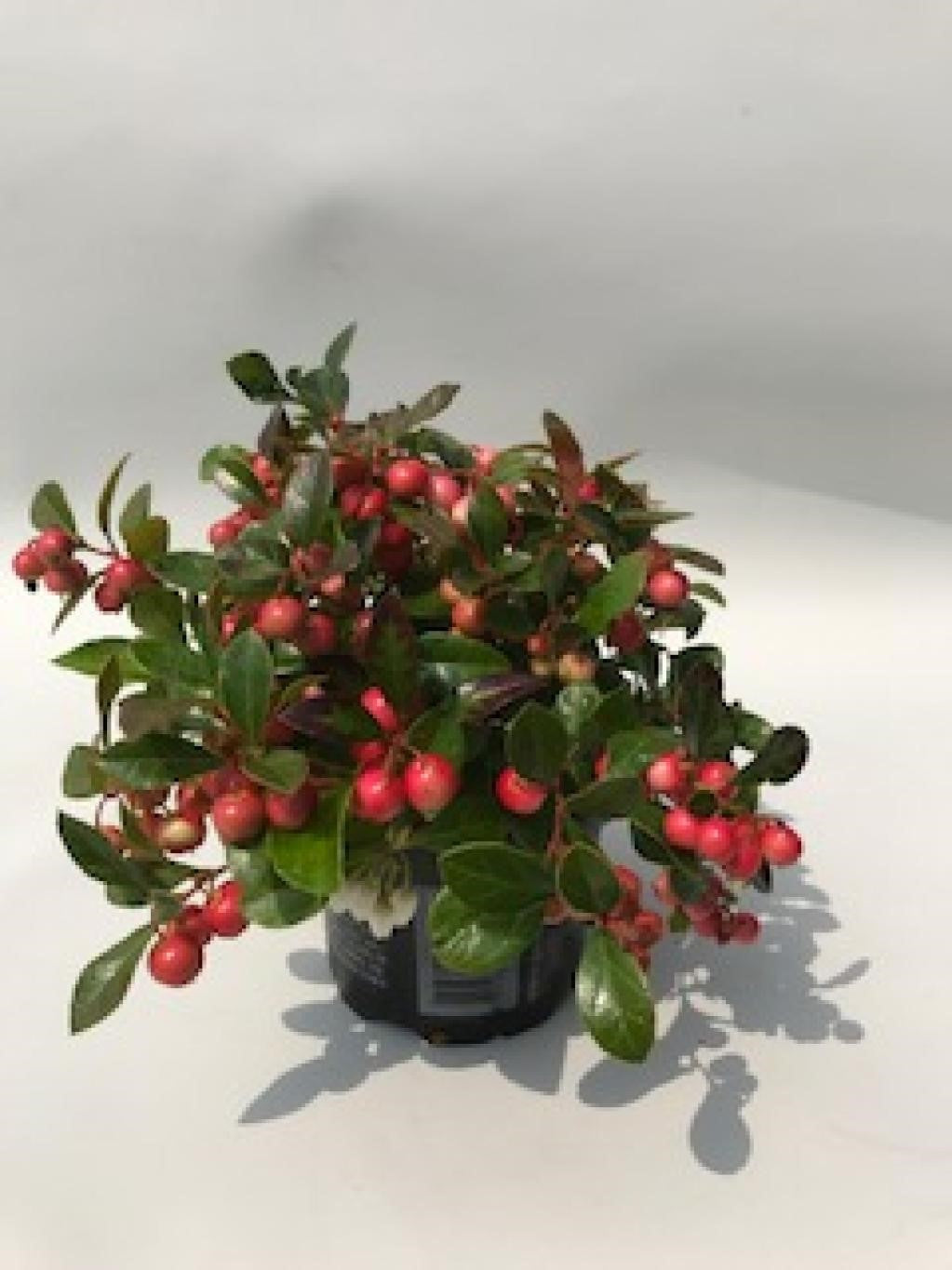 Gaultheria from Lazy Flora