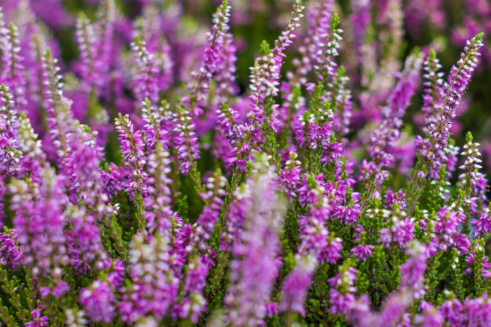 Lazy Flora heather