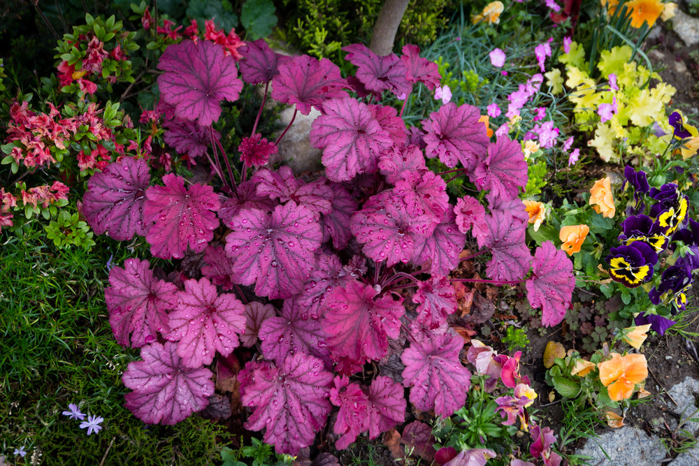 Lazy Flora heuchera