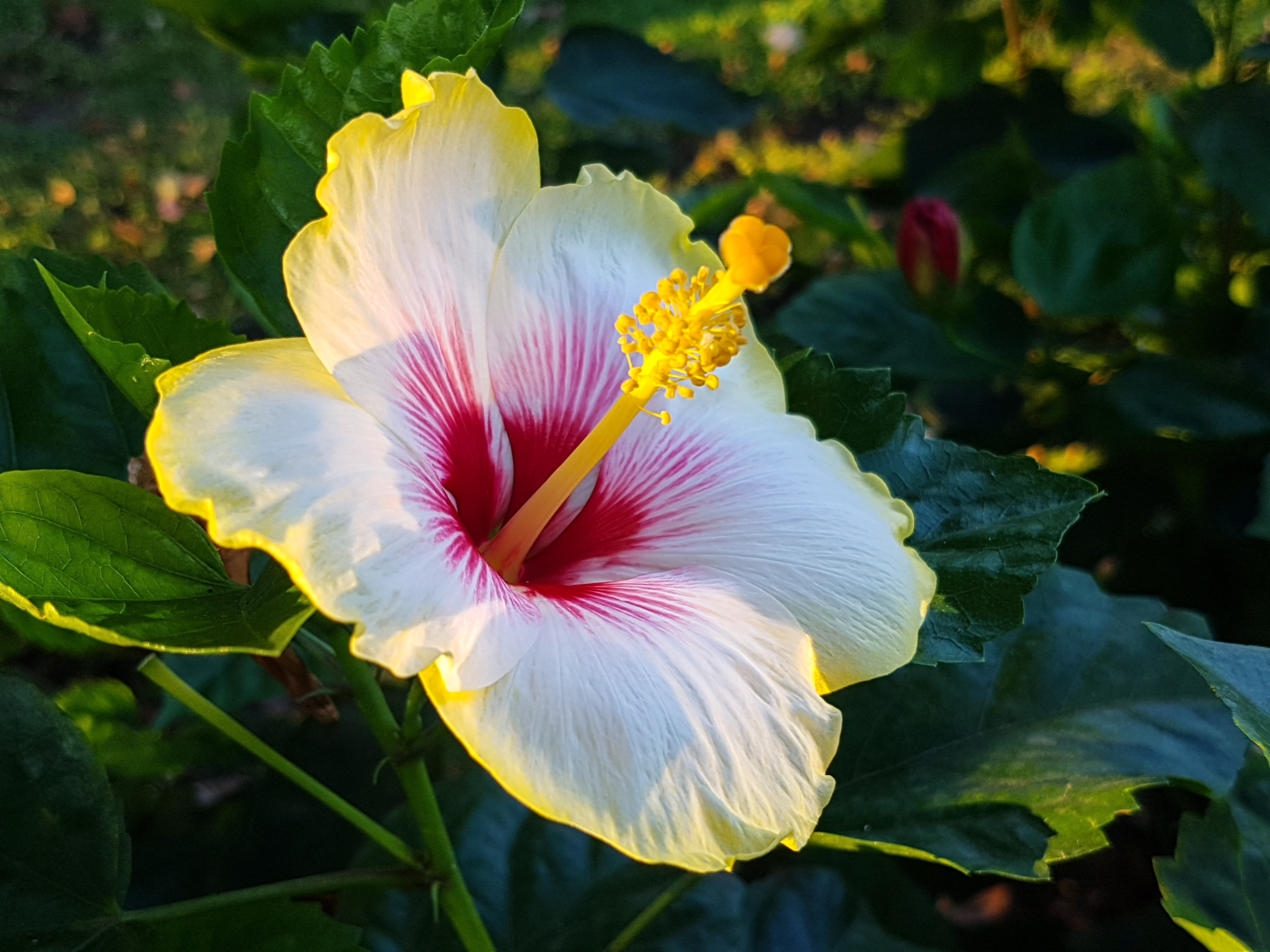 Hibiscus on Lazy Flora