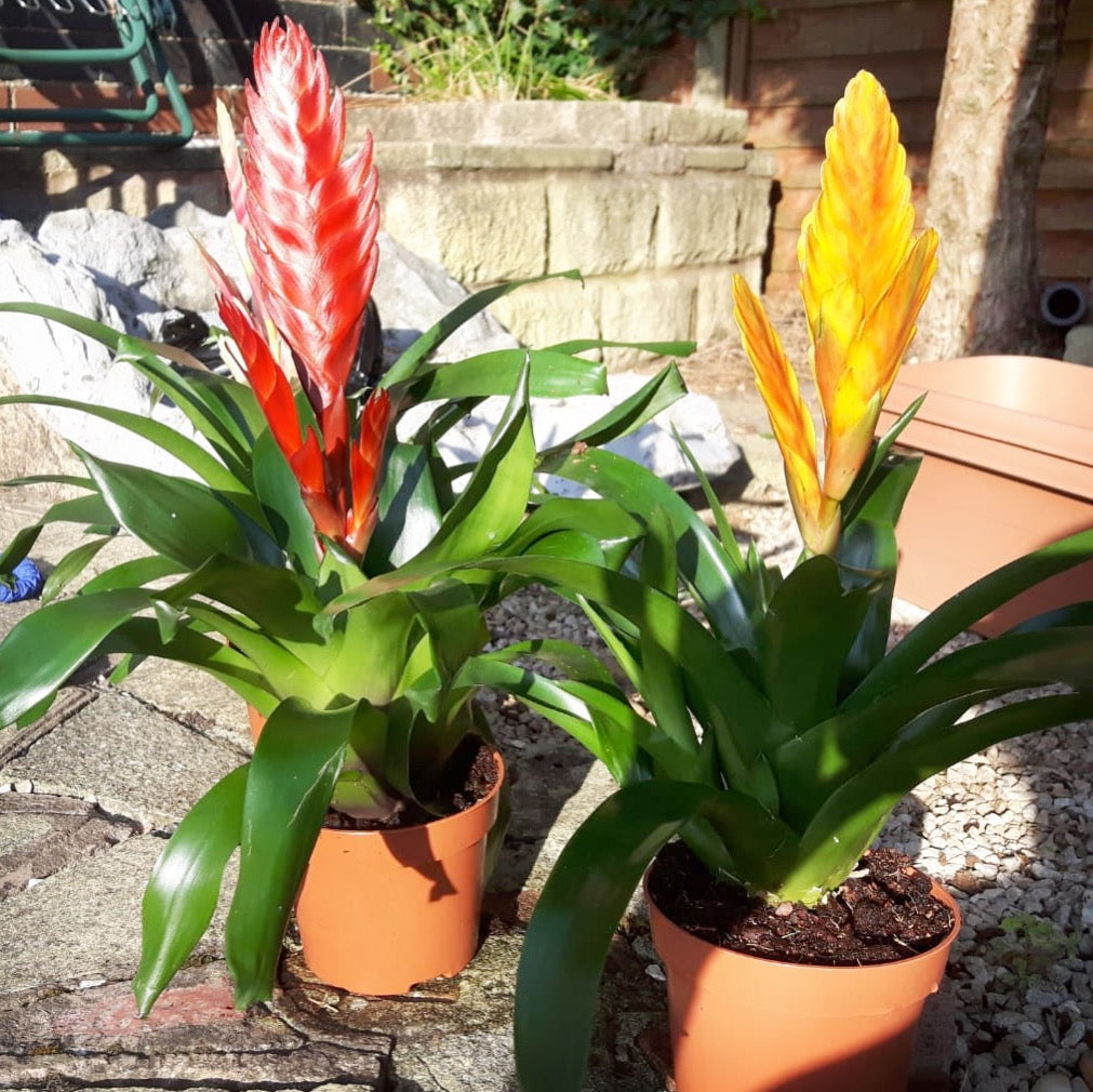 Caring for your Vriesea or Flaming Sword Bromeliad