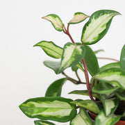 Indoor plant subscription, pay monthly: flowering and green plants