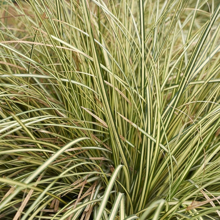 Japanese Sedge