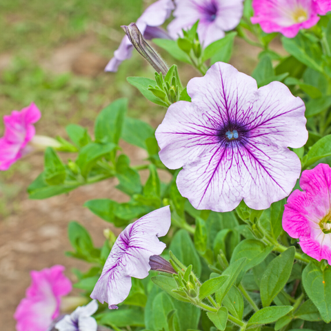 Mini petunia (Calibrachoa)