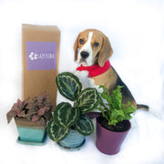Pet friendly plant bundle