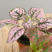 Hypoestes (3 mini plants)