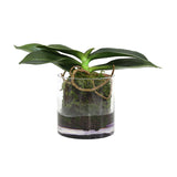 artificial rooted phalaenopsis orchid in glass pot