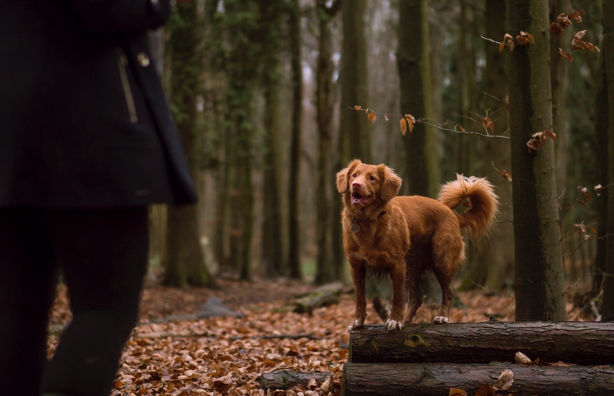 Dog playing in the woods with owner