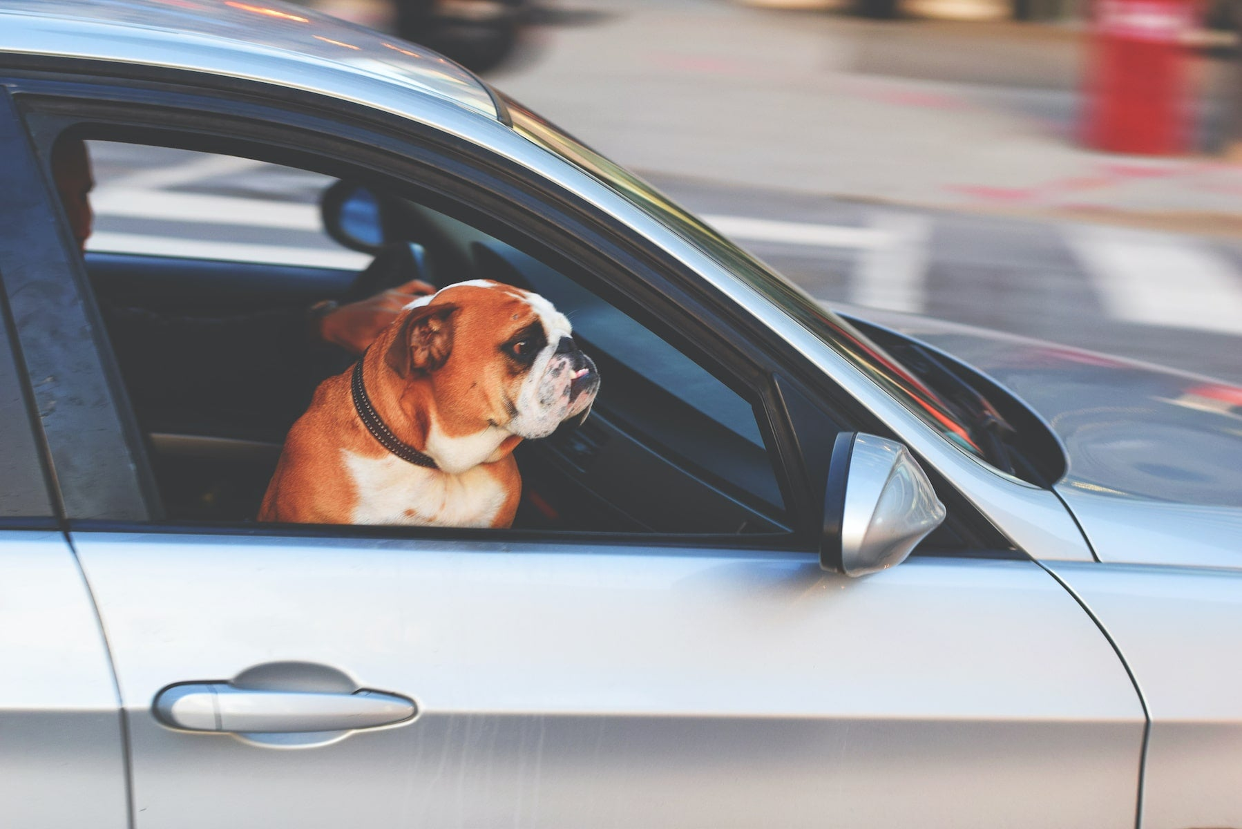 adorable dog traveling with owner across country in a car