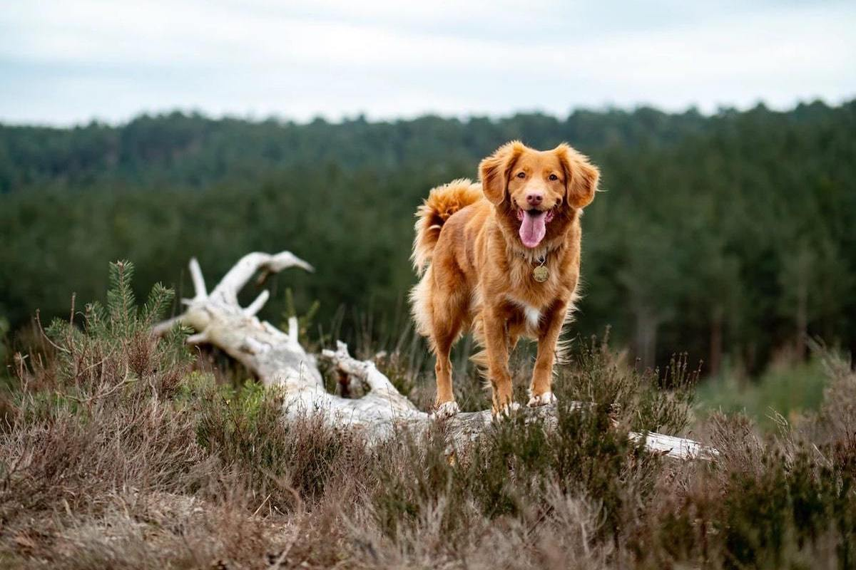Enrichment Ideas for Dogs with Golden Retriever Outdoors on Hike