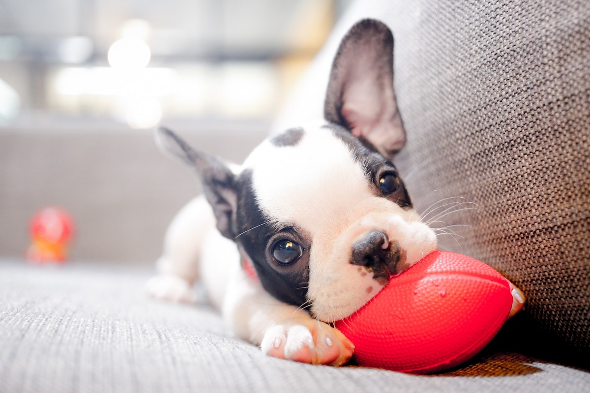 puppy playing with small football chew toy