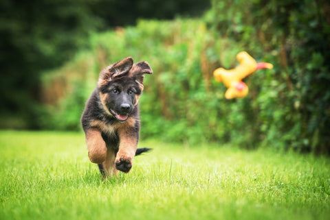 German shepard puppy playing with toy