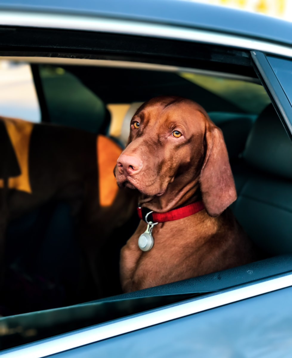 brown dog sitting in the back seat of a car on a dog road trip