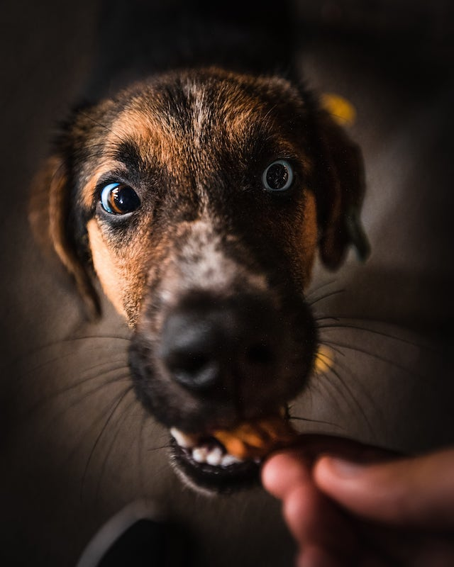 Dog eating a snack