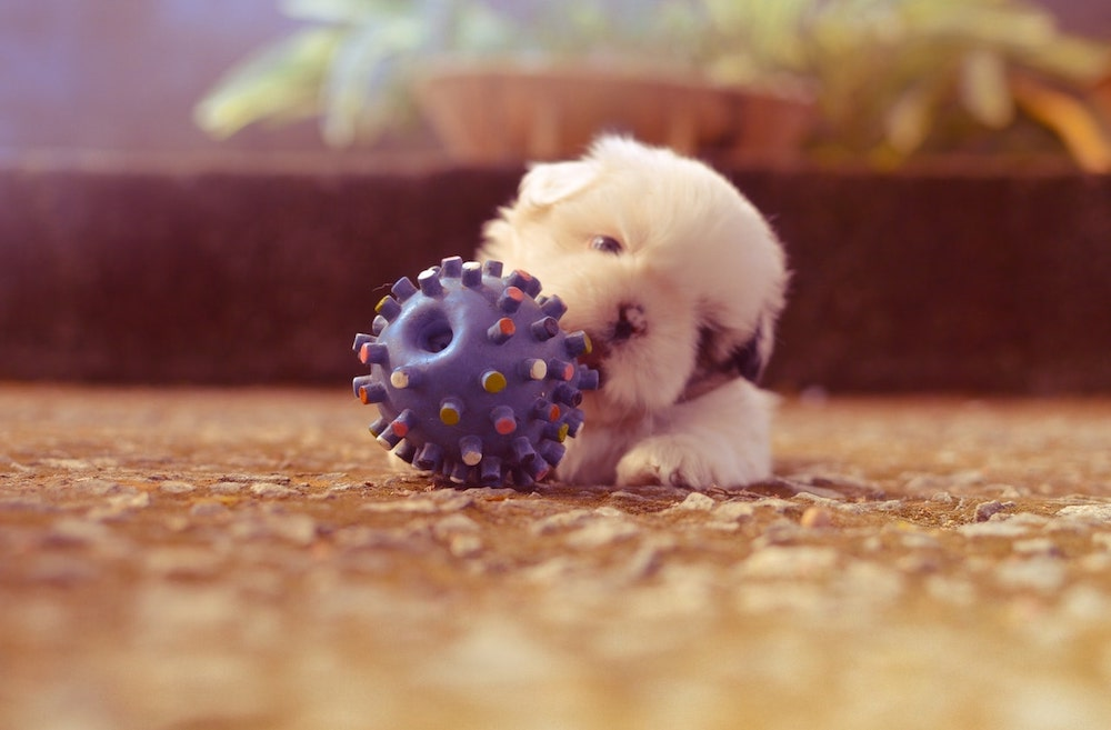 Tiny Puppy Dog Playing with Blue Toy