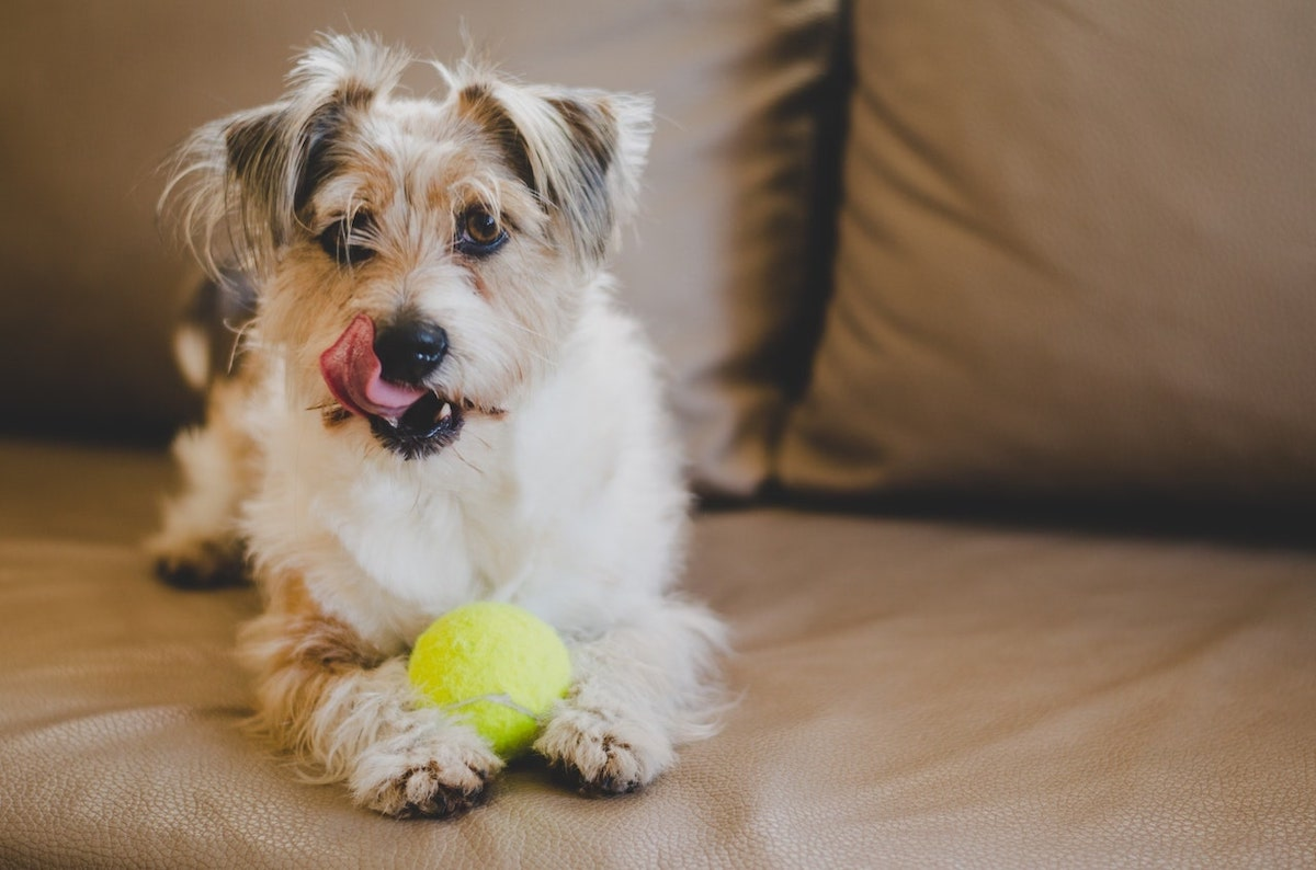 puppy playing on couch with tennis ball