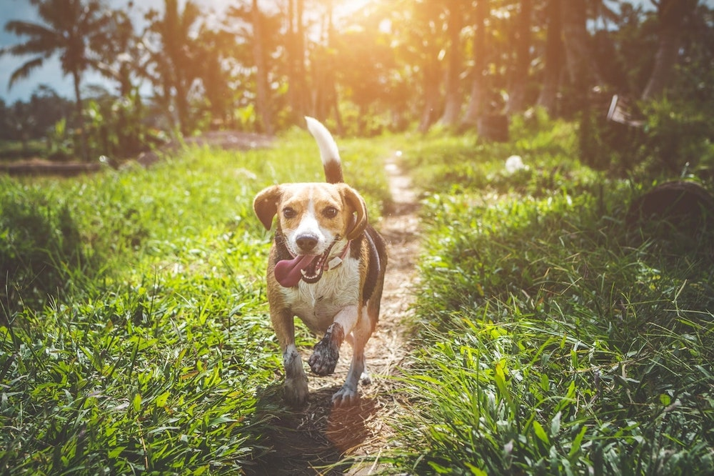 Excited Dog Running on Path Through Grass