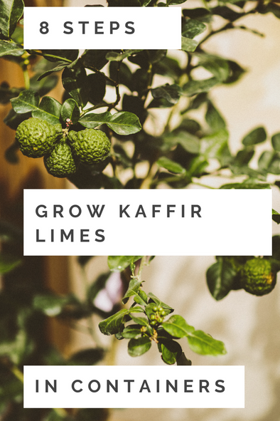 8 Steps to Growing Kaffir Lime Trees in Containers