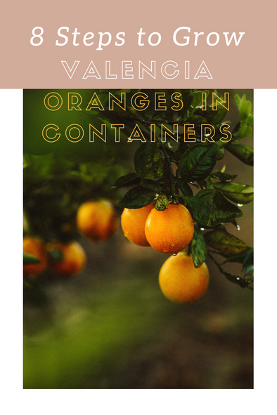 Eight Steps to Growing Valencia Oranges in Containers