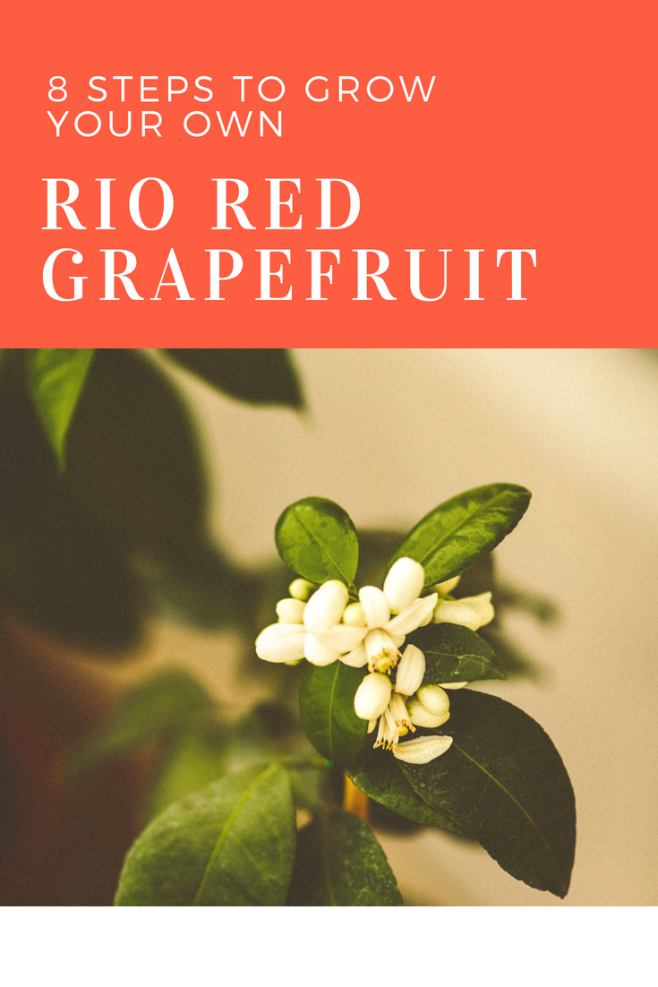 How to Grow Rio Red Grapefruits in 8 Steps