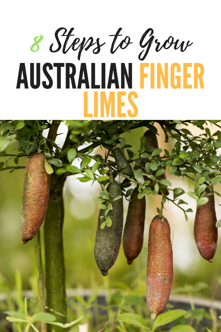 How to Grow Australian Finger Limes in 8 Steps
