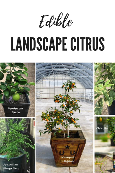 Edible Landscape Citrus Trees