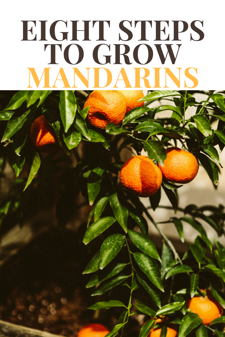 Eight Steps To Growing Mandarin Oranges In Containers Us