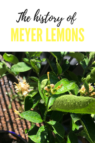 The History of Meyer Lemons