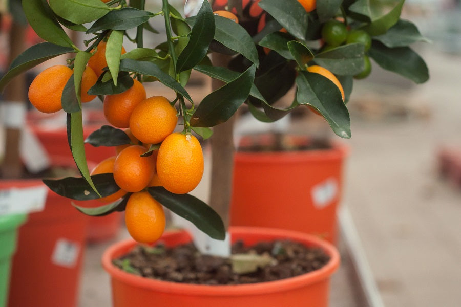 Calamondin Orange Tree Tips