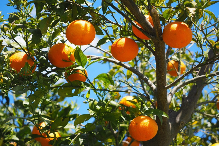 Citrus Fertilizer: A Guide to Fertilizing Your Trees